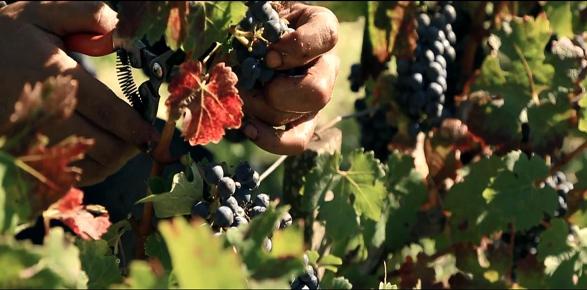 Harvesting 2013 vintage